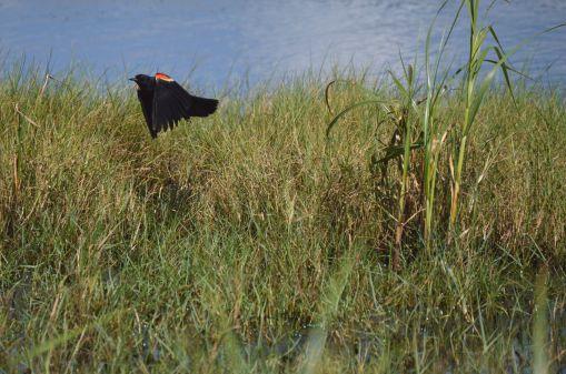 Sea Rim State Park birding 2