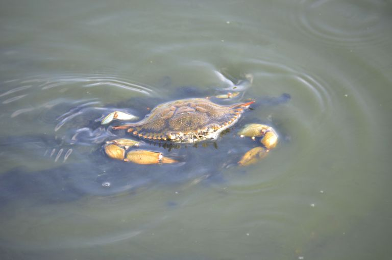 Sea Rim State Park crab