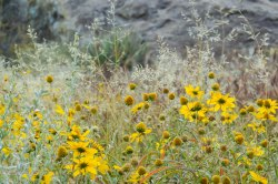 hueco tanks flowers-0627