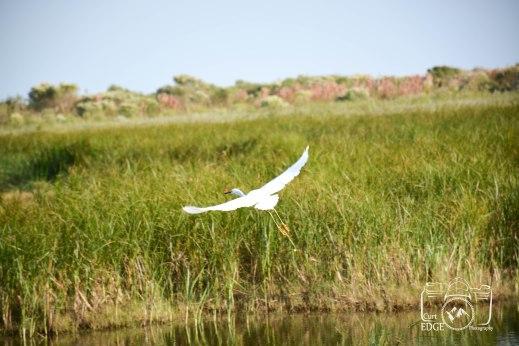marsh-bird-flying