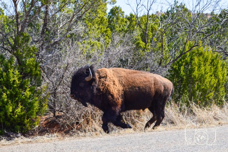 texas-bison